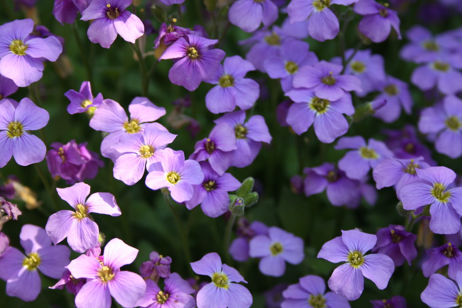 names of purple flowers, Beautiful flower